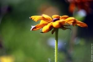 Тестовый цветок, снятый объективом Гелиос-44