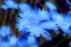 Голубые гвоздики.