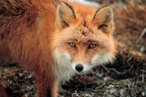 Занесенная в Красную книгу Красная лисица.