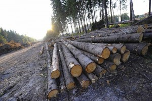 Определите на глазок по фото ширину этой просеки на окраине Химкинского леса.