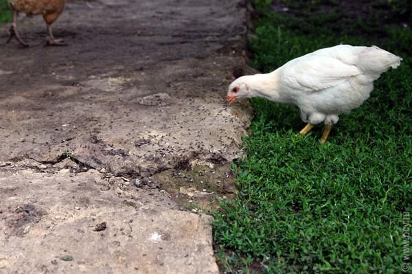 Цыплёнок закусывает муравьями, которые покинули свое жилище перед дождём.