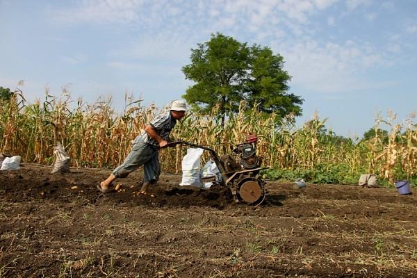 Дядя Петя мотоблоком копает картошку.