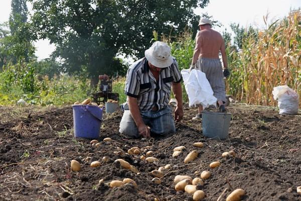Сбор урожая картошки.