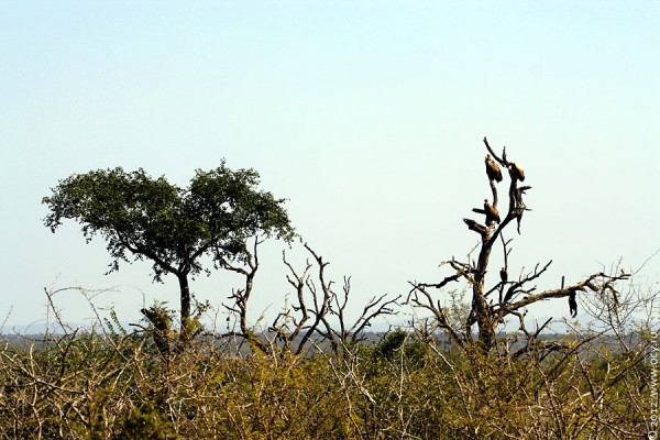 Грифы Свазиленда.