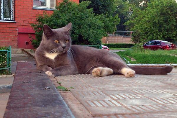 Серый кот.