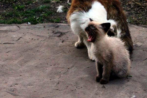 Кот Миша зевает.